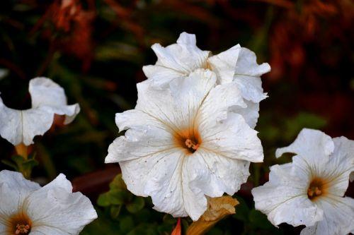 white petunia crisp bright