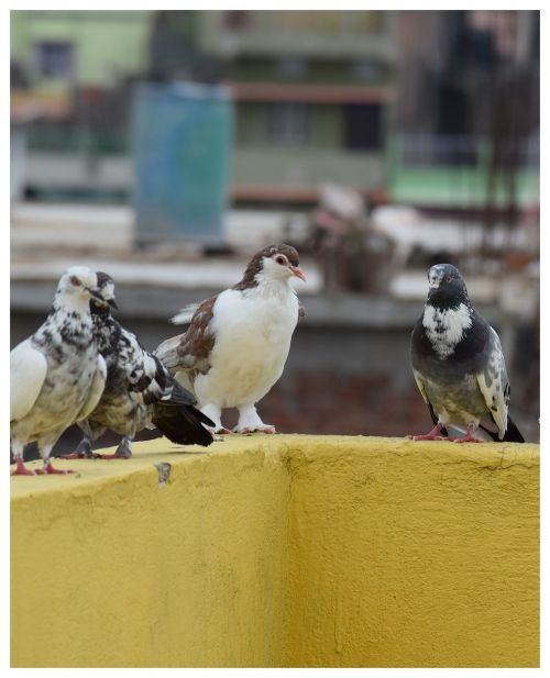 white pigeon pigeon group black and white pigeon