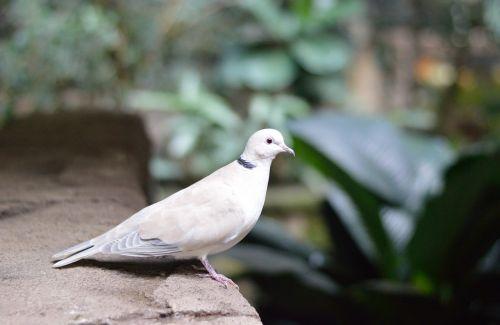 white pigeon dove bird