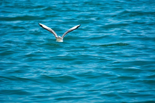 white pigeon  sea  india