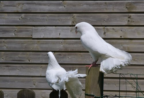 white pigeon  couple  cooing