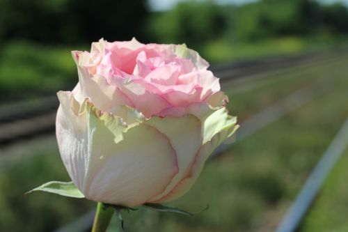 white pink rose railway stop child suicide