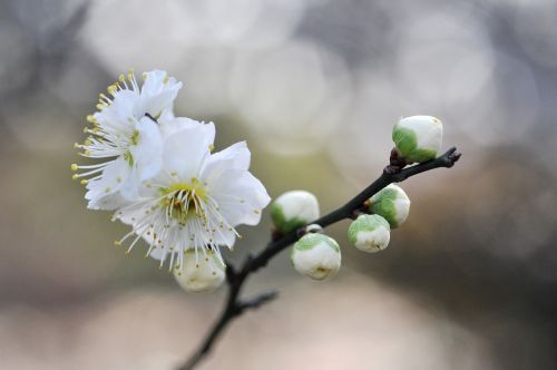 white plum blossoms flowers of early spring plum