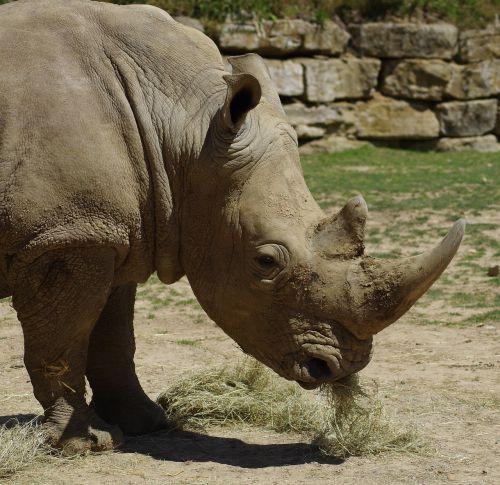 white rhino zoo africa