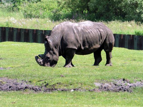 white rhino zoo rhino