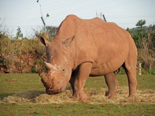 white rhino rhino mammal