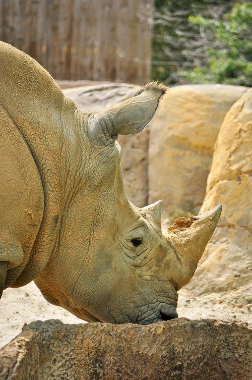 white rhino  rhino  animal