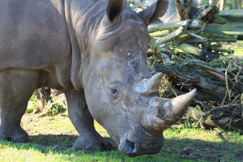 white rhino rhino ceratotherium simum
