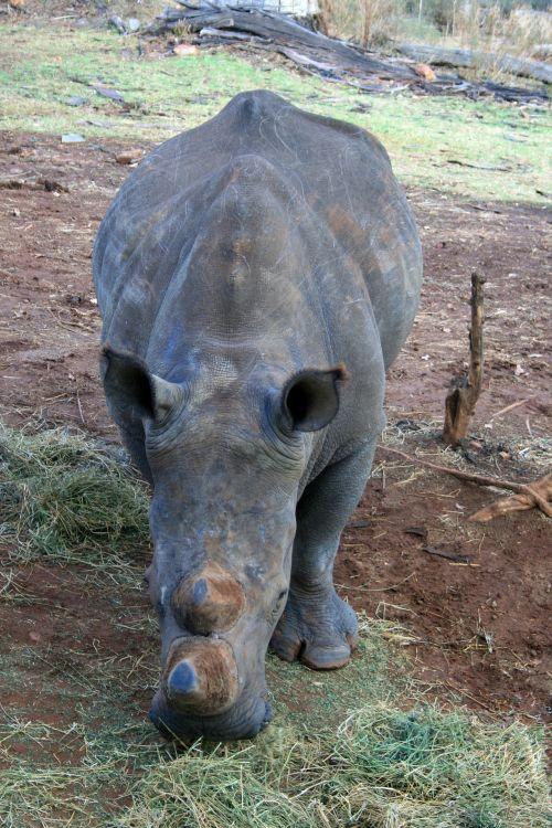 White Rhinoceros 2