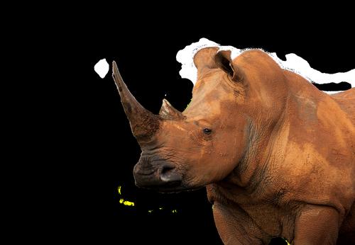 white rhinoceros  muddy  isolated