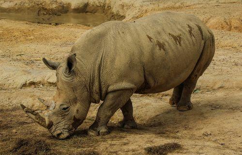 white rhinoceros white rhino rhinoceros