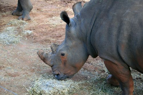 White Rhinoceros Close