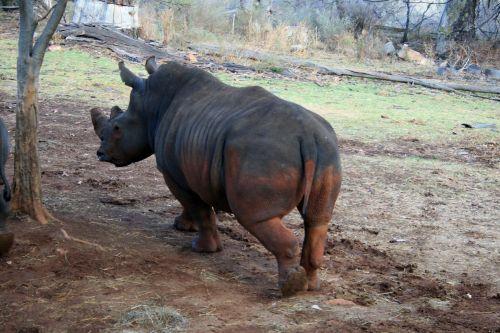 White Rhinoceros Walking Away