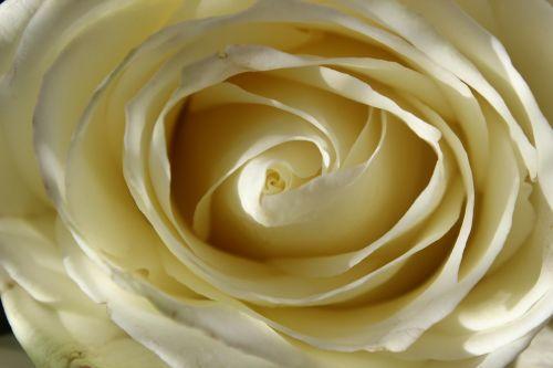 white rose blossom bloom