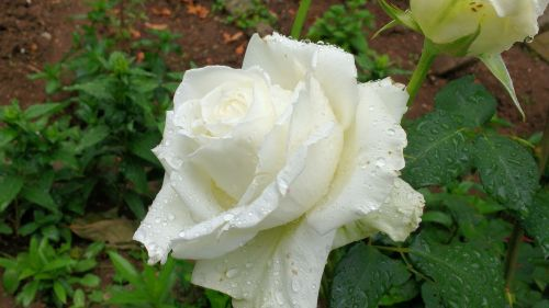 white rose white rose blooming rose blooming
