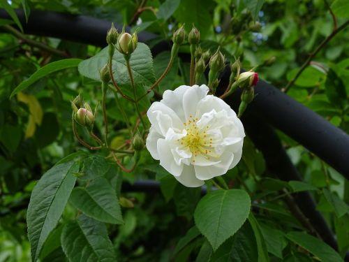 white rose bobby james climbing rose