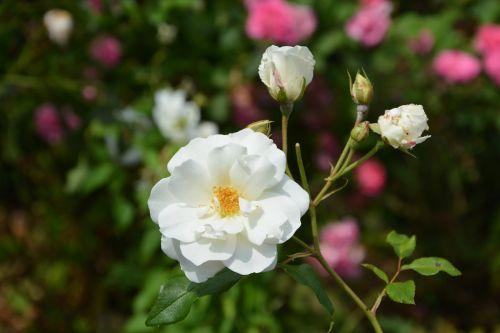 white rose flower rosebuds