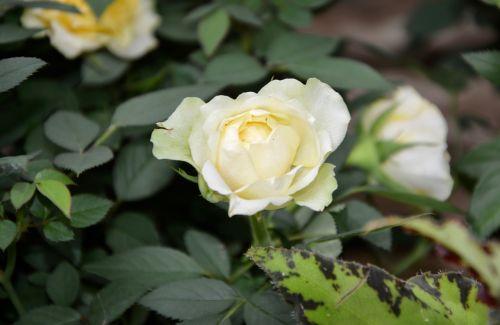 Balta rožė,rožių krūmas,aštrus,gamta,žydėjimas,žiedlapiai,botanika,balta,balta gėlė,erškėčių