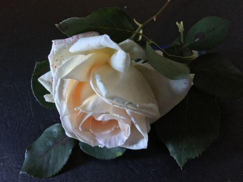 white rose pink rosa
