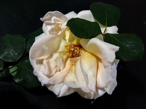 white rose petals rosa
