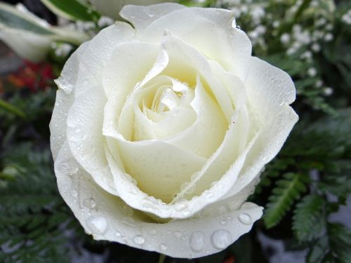 white rose all saints ' day the feast of the dead