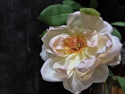white rose  white petals  pistils
