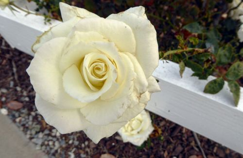 White Rose And Wood Rail Fence