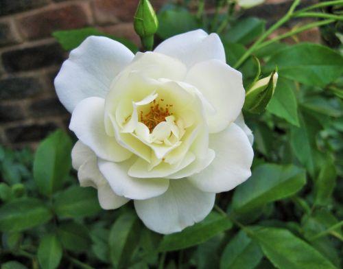 žydėti, gėlė, rožė, balta, grynas, subtilus, baltos rožės žydėti