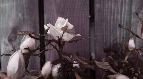 White Rose In Mauve