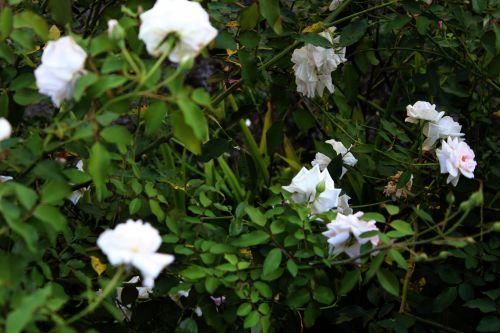 balta & nbsp, rožės, rožės, laukiniai & nbsp, rožės, gėlės, lapai, erškėčių, stiebas, baltos rožės 2