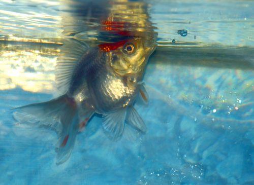 White Ryukin Goldfish