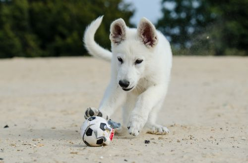 white shepherd puppy dog puppy