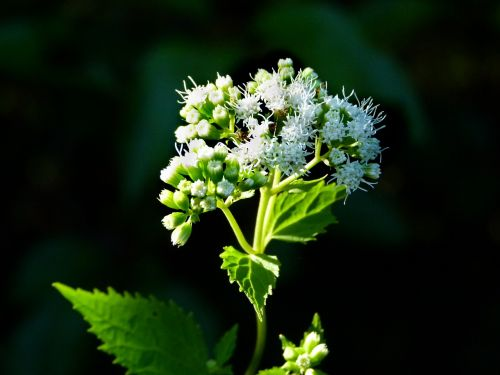 white snakeroot plant weed
