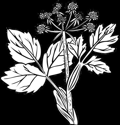 white snakeroot plant flowers