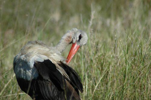 white stork bird wildlife