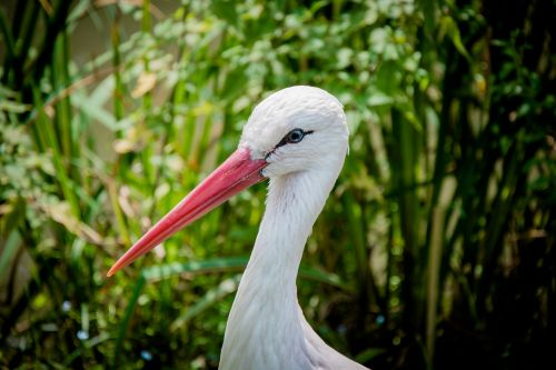 white stork eastern head