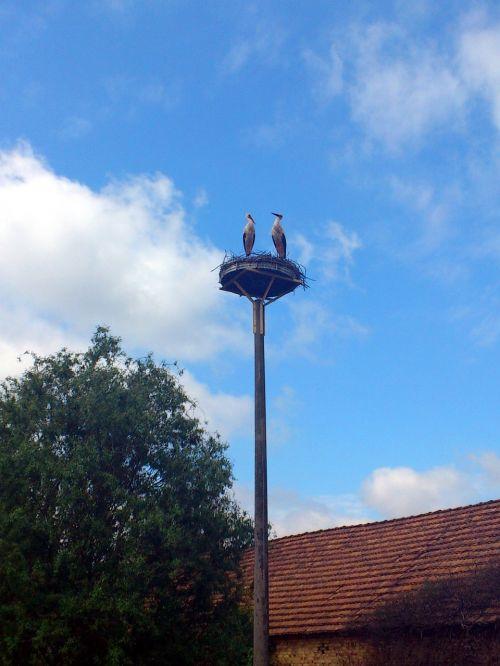 white stork stork bird