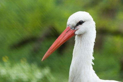 white stork  stork  ciconia ciconia