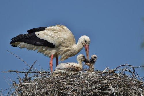 white stork  storchennest  stork young