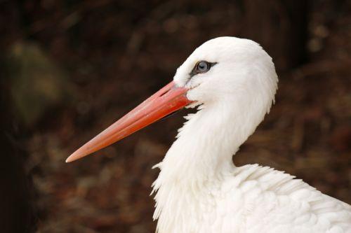White Stork Profile