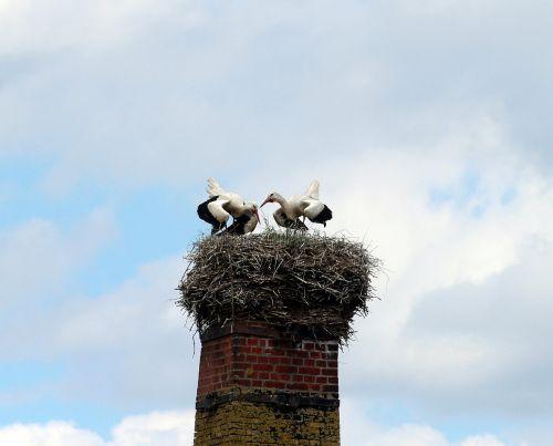 white storks stork white stork