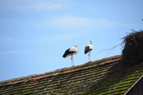 white storks storks birds