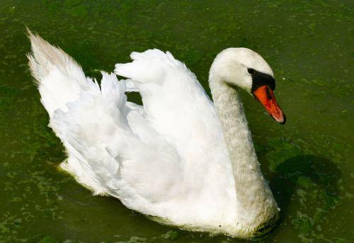 white swan water bird bird