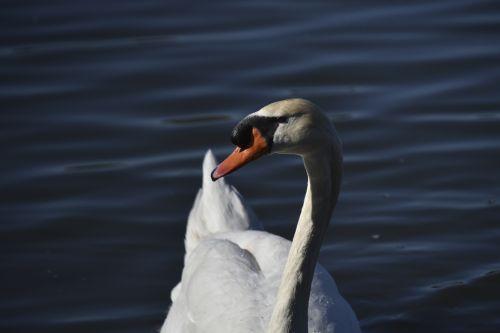 White Swan Face Closeup