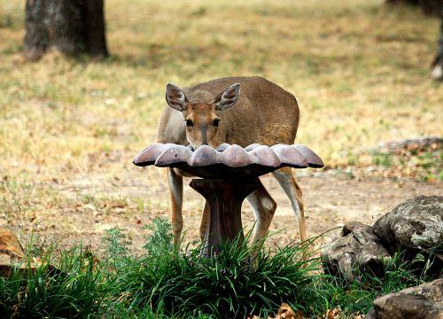 White-tail Deer At Bird Bath