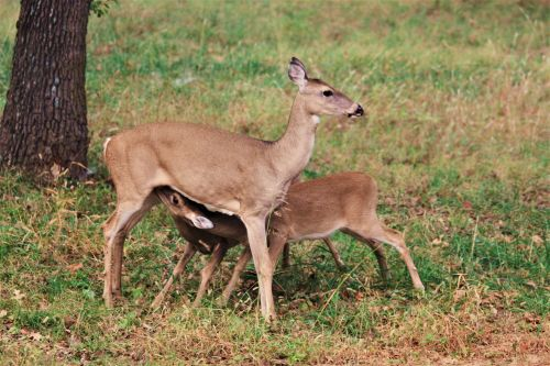 White Tail Deer Nursing Fawns