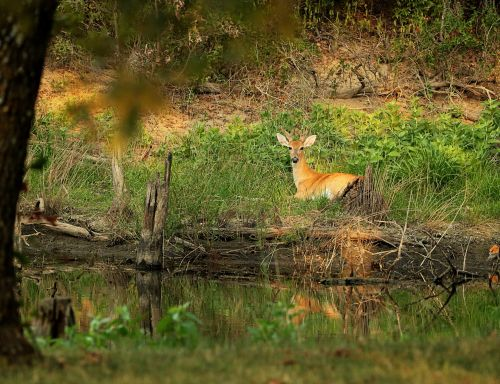 White-tail Deer Resting By Pond