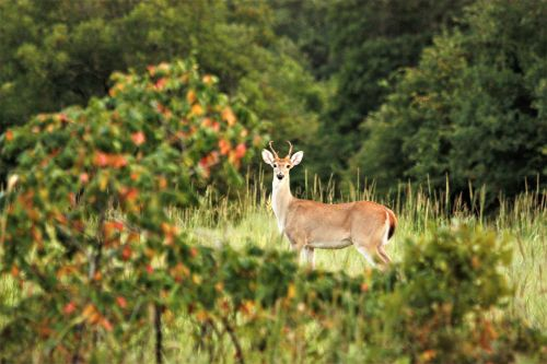 White-tail Deer Through The Trees