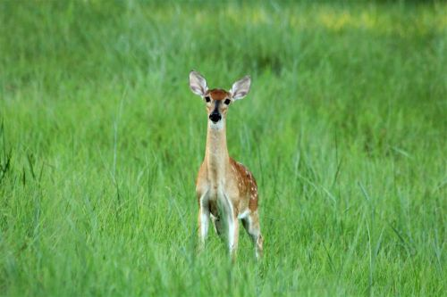 White-tail Fawn In Green Meadow