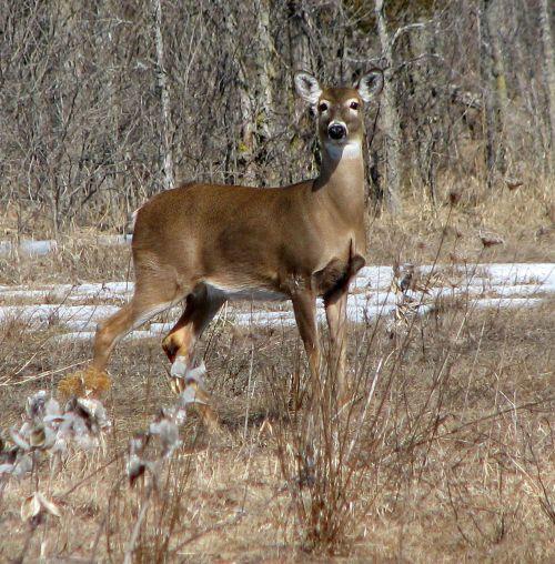 white-tailed deer virginia deer whitetail